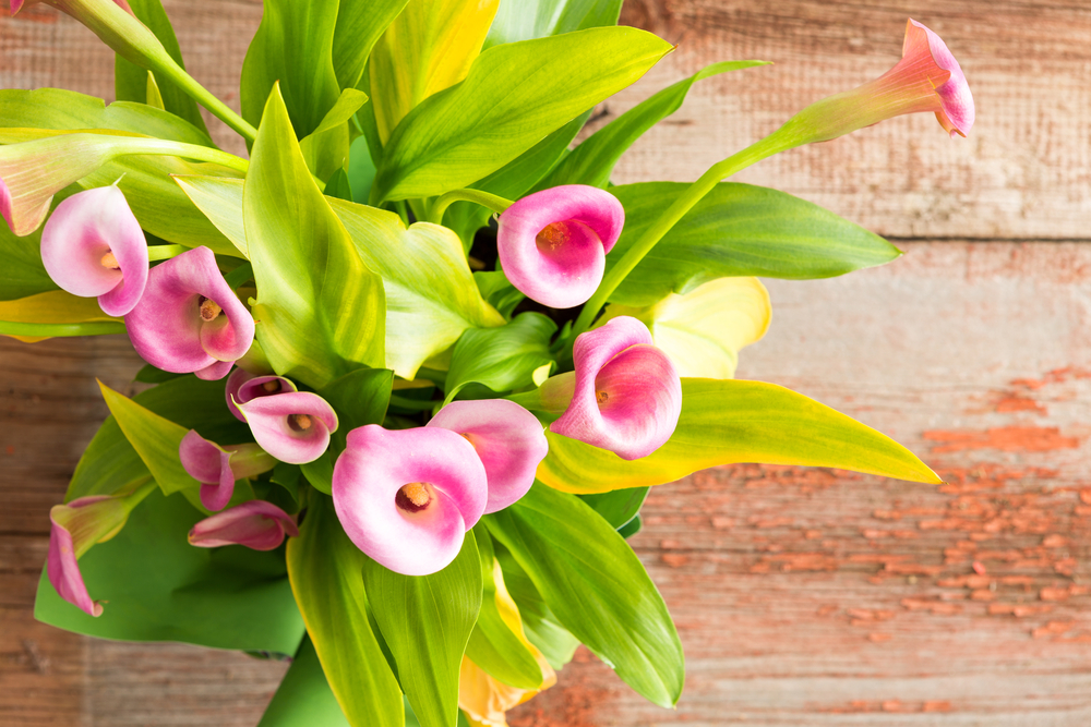 Buy Zantedeschia (Calla) online here at Brighter Blooms
