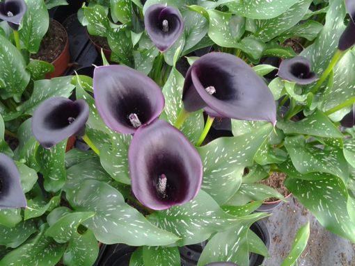 Zantedeschia Cantor Black