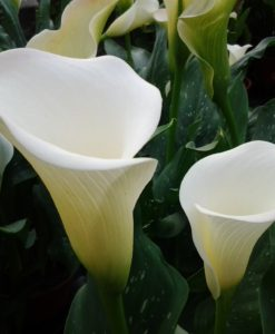 Zantedeschia White Flirt