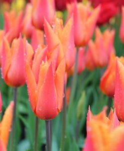 Garden Tulips