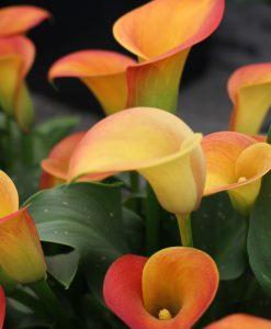Zantedeschia Rhizomes (Bulbs)