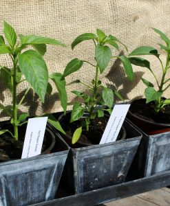 Pepper Plants